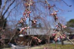 Fiore di Cherryblossom Fotografia Stock Libera da Diritti