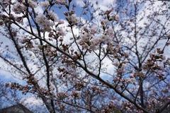 Fiore di Cherryblossom Fotografia Stock