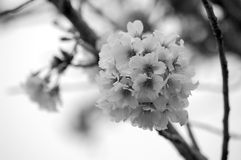 Fiore di ciliegia 3 Immagine Stock Libera da Diritti