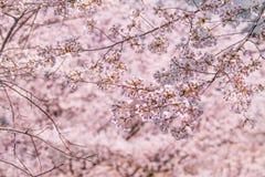 Fiore di ciliegia Fotografia Stock Libera da Diritti