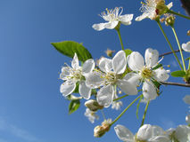 Fiore di ciliegia Fotografie Stock