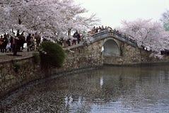 Fiore di ciliegia Fotografia Stock