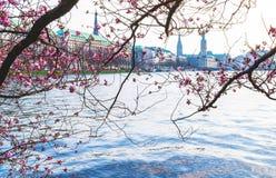 Fiore di ciliegia al lago Alster a Amburgo con Jungfernstieg e al townhall nel fondo il giorno di molla soleggiato Immagini Stock