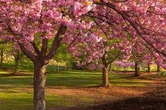 Fiore di ciliegia al ramo Brook Park Fotografie Stock Libere da Diritti