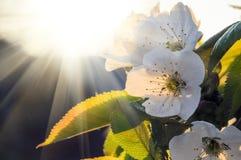 Fiore di ciliegia alla luce di tramonto Fotografia Stock