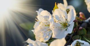 Fiore di ciliegia alla luce di tramonto Immagine Stock
