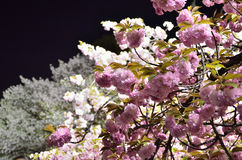 Fiore di ciliegia alla notte, Osaka Japan immagine stock