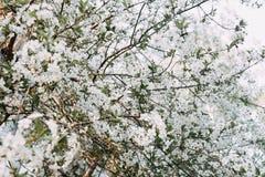 Fiore di ciliegia astratto fotografia stock libera da diritti