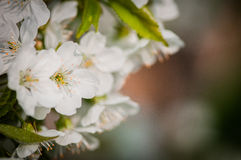 Fiore di ciliegia bianco Fotografia Stock
