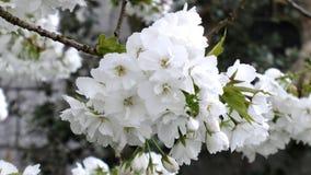 Fiore di ciliegia bianco Immagine Stock