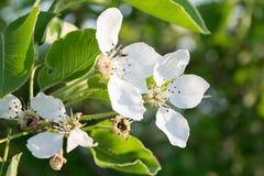 Fiore di ciliegia bianco Immagini Stock Libere da Diritti
