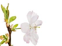 Fiore di ciliegia bianco isolato Fotografia Stock Libera da Diritti