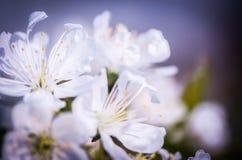 Fiore di ciliegia bianco su fondo scuro fotografie stock