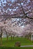 Fiore di ciliegia che fiorisce al tempo di sorgente fotografia stock libera da diritti