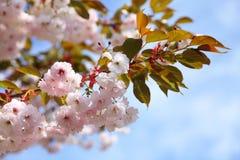 Fiore di ciliegia in cielo blu Immagini Stock Libere da Diritti