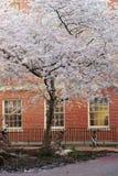 Fiore di ciliegia con la costruzione di mattone Immagine Stock