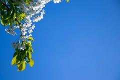 Fiore di ciliegia con un fondo profondo del cielo blu fotografie stock libere da diritti