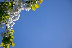 Fiore di ciliegia con un fondo profondo del cielo blu immagini stock