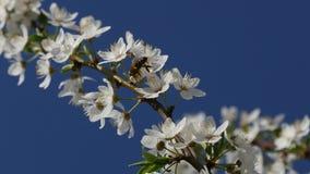 Fiore di ciliegia d'impollinazione dell'ape video d archivio