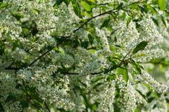 Fiore di ciliegia dell'uccello Fotografie Stock