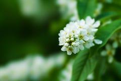 Fiore di ciliegia dell'uccello Fotografia Stock Libera da Diritti