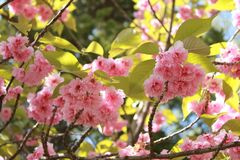 Fiore di ciliegia della composizione nel frutteto di ciliegia, primo piano del fiore di ciliegia fotografie stock libere da diritti