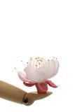 Fiore di ciliegia della holding della mano del manichino Fotografie Stock Libere da Diritti