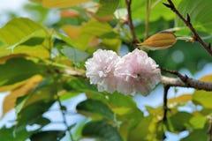 Fiore di ciliegia della peonia Immagine Stock Libera da Diritti