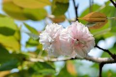 Fiore di ciliegia della peonia Fotografie Stock Libere da Diritti