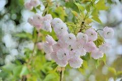 Fiore di ciliegia della peonia Fotografie Stock
