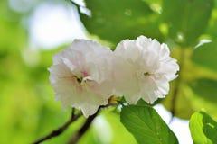 Fiore di ciliegia della peonia Fotografia Stock Libera da Diritti