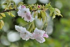 Fiore di ciliegia della peonia Immagine Stock