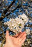 Fiore di ciliegia della tenuta della mano Immagini Stock Libere da Diritti