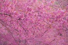 Fiore di ciliegia dentellare Immagine Stock Libera da Diritti