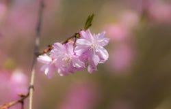 Fiore di ciliegia dentellare Immagine Stock