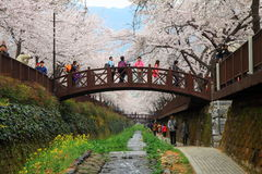Fiore di ciliegia di Jinhae Immagini Stock