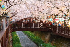 Fiore di ciliegia di Jinhae Fotografia Stock