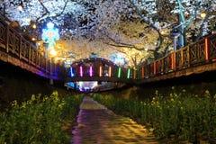 Fiore di ciliegia di Jinhae Fotografia Stock Libera da Diritti