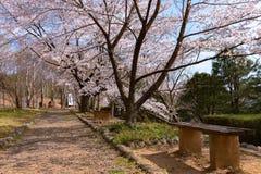 Fiore di ciliegia e banco di legno nella stagione primaverile fotografia stock libera da diritti