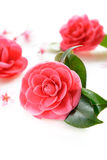 Fiore di ciliegia e della camelia Fotografia Stock Libera da Diritti