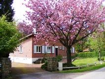 Fiore di ciliegia e giardino rosa Francia Immagine Stock