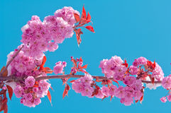 Fiore di ciliegia e neve, serrulata del Prunus, sakura Immagini Stock Libere da Diritti