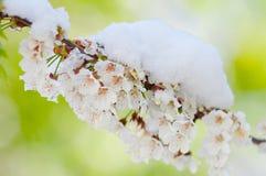 Fiore di ciliegia e neve, serrulata del Prunus, sakura Immagini Stock