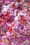 Fiore di ciliegia e neve, serrulata del Prunus, sakura Fotografia Stock Libera da Diritti