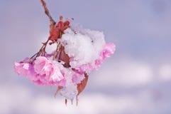 Fiore di ciliegia e neve, serrulata del Prunus, sakura Fotografie Stock