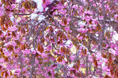 Fiore di ciliegia e neve, serrulata del Prunus, sakura Immagine Stock Libera da Diritti