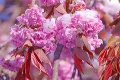 Fiore di ciliegia e neve, serrulata del Prunus, sakura Fotografie Stock Libere da Diritti
