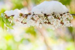 Fiore di ciliegia e neve, serrulata del Prunus, sakura Fotografia Stock
