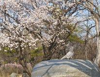 Fiore di ciliegia e peageon Fotografie Stock Libere da Diritti