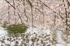 Fiore di ciliegia e stagno del giardino di Japenese Fotografia Stock